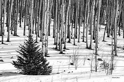 Photograph - Looking Through The Aspen Black And White by Stephen Johnson