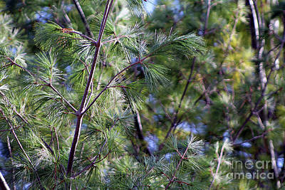 Photograph - Looking Through The Pine Needles by Dan De Ment