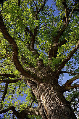 Photograph - Looking Up - 365-363 by Inge Riis McDonald
