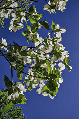 Photograph - Looking Up A Dogwood Tree by John Haldane