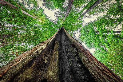 Photograph - Looking Up A Redwood Tree by Stuart Litoff