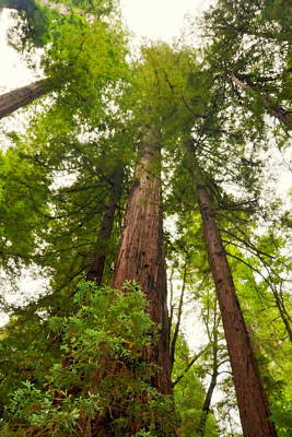 Photograph - Looking Up Among The Armstrong Redwoods by Carla Parris