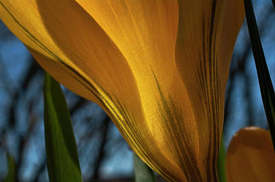 Yellow Crocus Photograph - Looking Up At A Yellow Crocus by ShaddowCat Arts - Sherry