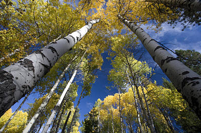 Looking Up At Autumn Aspens Print by Ed Book