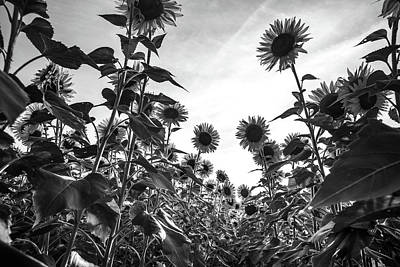 Photograph - Looking Up At Sunflowers In Black And White by Anthony Doudt