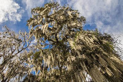 Photograph - Looking Up At Tree At Magnolia Plantation by John McGraw