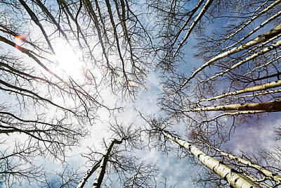 Photograph - Looking Up On Tall Birch Trees by Susan Schmitz