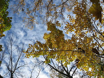 Poplar Photograph - Looking Up by Tammy Finnegan