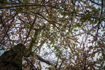 Photograph - Looking Up Through The Cherry Blossoms by Chris Bordeleau