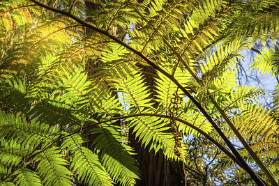 Photograph - Looking Up To A Beautiful Sunglowing Fern In A Tropical Forest by Daniela Constantinescu