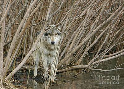 Photograph - Looking Wild 2 by Shari Jardina