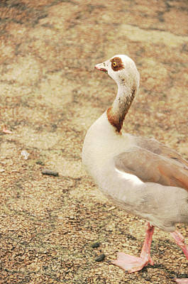 Photograph - Looks Like An Egyptian Goose by JAMART Photography