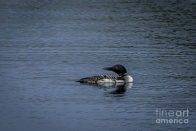 Wall Art - Photograph - Loon After Dragon Fly by Marj Dubeau