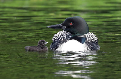 Photograph - Loon And Chick by Cliff Homewood