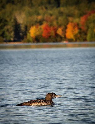 Photograph - Loon Chick by Benjamin Dahl