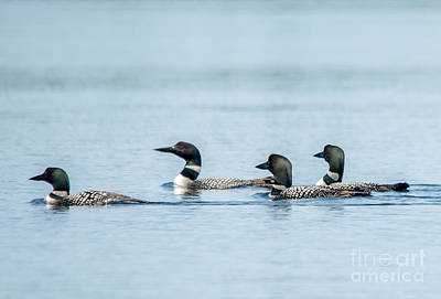 Photograph - Loon Congregation by Cheryl Baxter