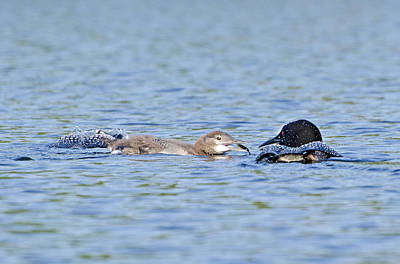 Common Photograph - Loon Family Breakfast by Donna Doherty