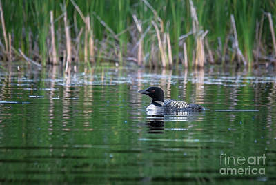 Photograph - Loon In The Reeds by Cheryl Baxter