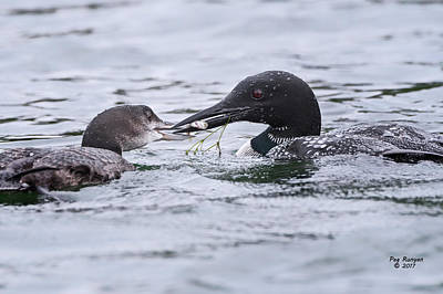 Photograph - Loon Luncheon by Peg Runyan