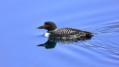 Photograph - Loon On A Lake by Jack Bell