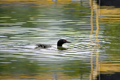 Photograph - Loon On The Lake by Christina Rollo