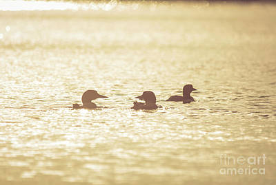 Photograph - Loon Silhouettes by Cheryl Baxter