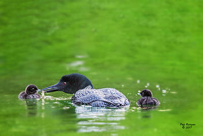 Photograph - Loon With Chicks by Peg Runyan