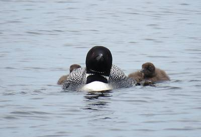 Photograph - Loon With Chicks by Sandra LaFaut