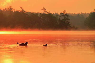 Photograph - Loon With Young At Sunrise, Nova Scotia by Gary Corbett