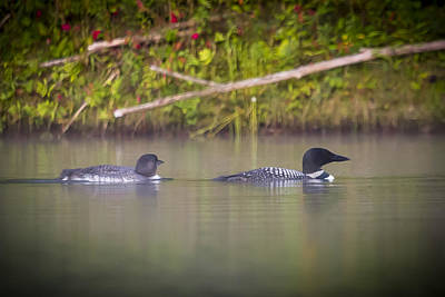 Photograph - Loons 1 by Vance Bell