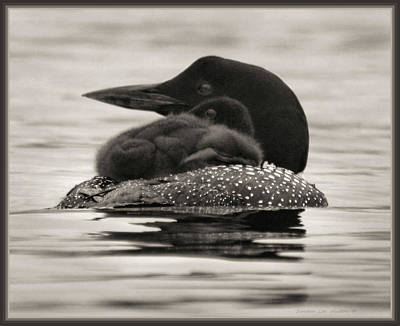 Photograph - Loons, Father And Son Square by Sandra Huston