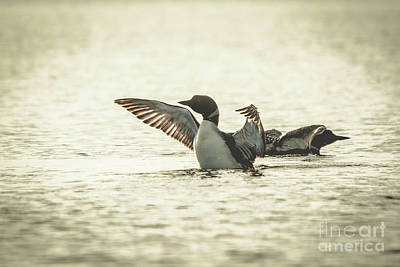 Photograph - Loons On The Lake by Cheryl Baxter