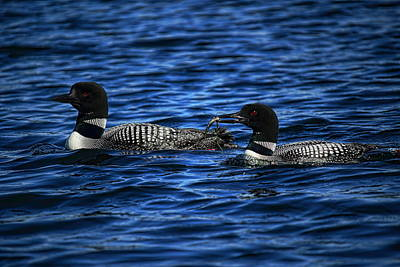 Rhinelander Photograph - Loons With Perch by Dale Kauzlaric