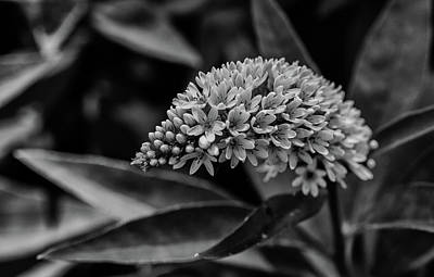 Gooseneck Loosestrife Photograph - Loosestrife - Black And White by Greg Thiemeyer