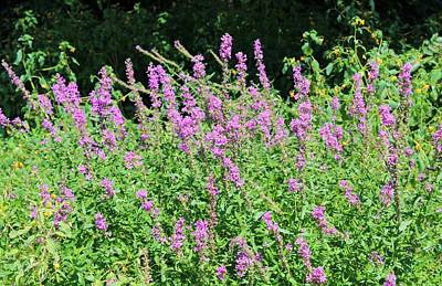 Photograph - Loosestrife by Paul Meinerth