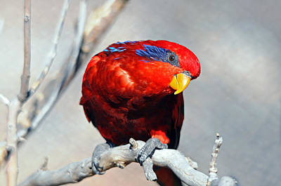 Photograph - Lorikeet 1 by Diana Douglass