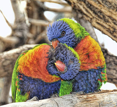 Robert Walker Digital Art - Lorikeet Denver Zoo by Robert Walker