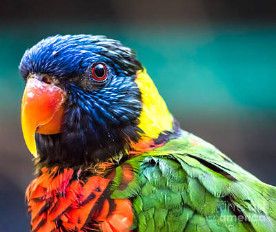 Lorikeet Glance Art Print