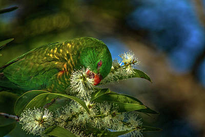 Photograph - Lorikeet In Gum Tree by Robert Munden