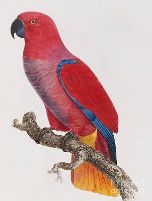 Zoology Painting - Lorikeet by Jacques Barraband