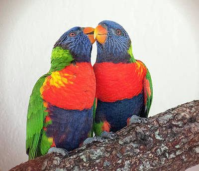 Pretty Cockatoo Photograph - Lorikeet Lovebirds by Phyllis Taylor