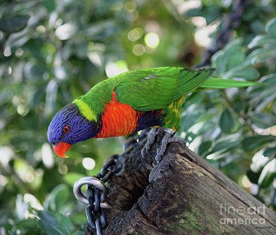 Photograph - Lorikeet by Terri Mills