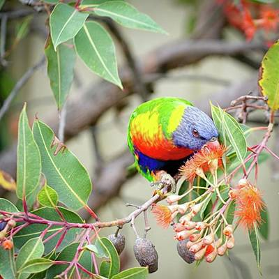 Florals Wall Art - Photograph - Lorikeet With Flowering by Margaret Goodwin