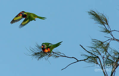 Photograph - Lorikeets by Andrew Michael