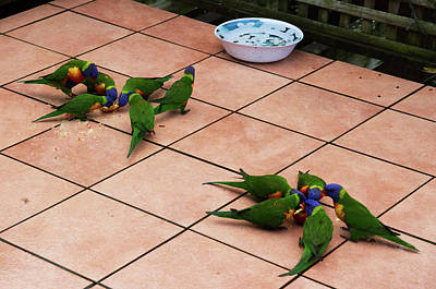Photograph - Lorikeets Are Visiting by Miroslava Jurcik