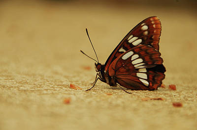 Photograph - Lorquin's Admiral Butterfly by Marilyn Wilson