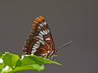Rust Wall Art - Photograph - Lorquin's Admiral by Gary Wing