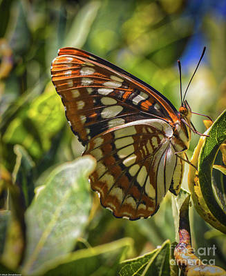 Photograph - Lorquin's Admiral by Mitch Shindelbower