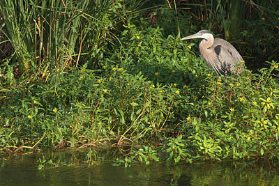 Photograph - Los Angeles River Wildlife - Great Blue Heron by Ram Vasudev