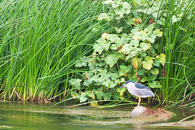 Photograph - Los Angeles River Wildlife - Night Heron by Ram Vasudev